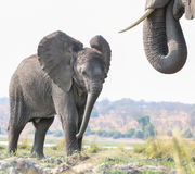 Elephant calf standing near mom Royalty Free Stock Images