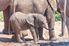 Elephant calf surrounded by family group stock image