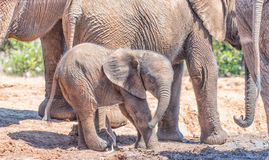 Elephant calf surrounded by family group stock photography