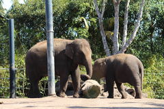 Elephant and calf together Royalty Free Stock Image