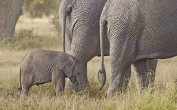 Elephant calf with two female relatives Royalty Free Stock Photography