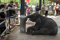 An elephant calf waits to be fed at the Pinnawela Elephant Orphanage (Pinnewala) in Sri Lanka. Royalty Free Stock Photo