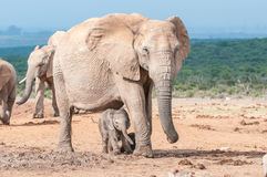 Elephant calf walking between its mothers legs stock photos