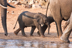 Elephant calf walking past a water Stock Image