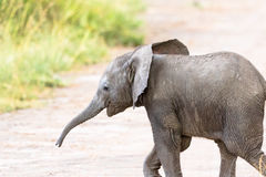Elephant calf walking Royalty Free Stock Photography