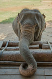 Elephant calf Royalty Free Stock Photo