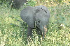 Elephant calf. The elephant was in the Reserve. He was eating fresh grass Royalty Free Stock Photography