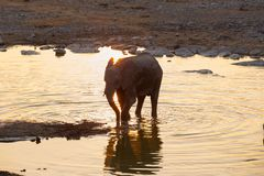 Elephant calf at the water Royalty Free Stock Photos