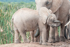 Elephant calf wiping eyes Royalty Free Stock Photography