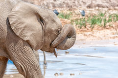 Elephant calf wiping mud from face. An African Elephant calf wiping mud from its face with its trunk Royalty Free Stock Images
