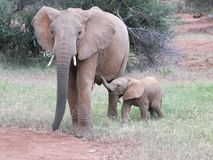Elephant and calf. Elephant with year old calf attempting to suckle stock photography