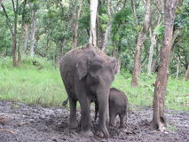 Elephant and Calf. An elephant and young calf seen at Mudumalai Tiger Reserve, Tamil Nadu, India royalty free stock photography