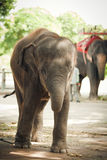 The elephant calf in a zoo Royalty Free Stock Photography