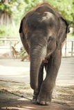 The elephant calf in a zoo. The small elephant calf in walks in a zoo Royalty Free Stock Images