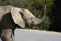 Elephant Calling Stock Image