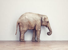 Elephant calm in the room Royalty Free Stock Image