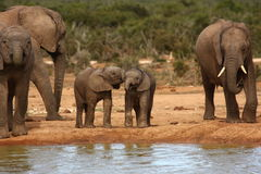 Elephant calves. Royalty Free Stock Photos