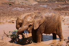 Elephant calves. Playing in mud pool at David Sheldrick Wildlife trust in Nairobi, Kenya Stock Photography