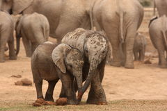 Elephant calves. Stock Photo