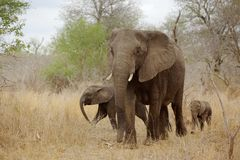 Elephant with Calves Royalty Free Stock Images