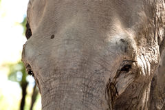 Elephant in captivity Royalty Free Stock Image