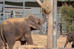 An Elephant In Captivity. Reaching up to a bag of hay with its trunk for a feed stock images