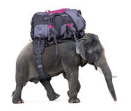 Elephant carries a large backpack Royalty Free Stock Photography
