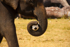Elephant Carrying Soccer Ball Trunk Royalty Free Stock Photography