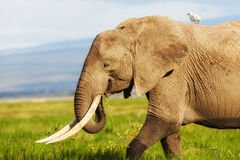 Elephant with Cattle Egret. Big Elephant in Amboseli National Park in Kenya royalty free stock photos