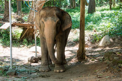 Elephant in chain. S in Thailand stock images