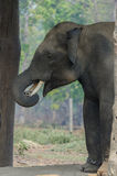 Elephant. On chain, Chitwan National Park,Nepal Royalty Free Stock Images