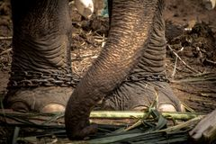 Elephant s foot tied to a chain Stock Photo