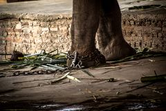Elephant s foot tied to a chain Stock Images