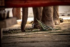 Elephant s foot tied to a chain Royalty Free Stock Image