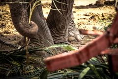 Elephant s foot tied to a chain Royalty Free Stock Photo