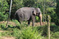 Elephant on a chain in the Pinnawela orphanage. Royalty Free Stock Photos
