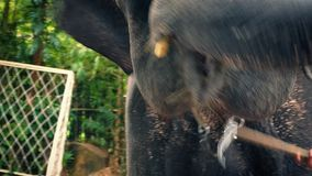 Elephant Chained Up In Zoo. Asian elephant with chain around neck moving head around outside, animal cruelty illustration stock video footage