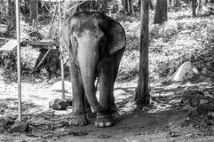 Elephant in chains. In Thailand black and white royalty free stock photos