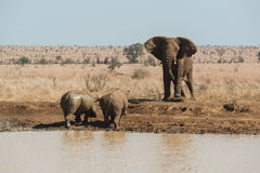 An elephant challenges two rhinoceros for a waterhole Stock Image