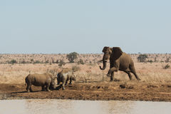 An elephant challenges two rhinoceros for a waterhole Stock Photography