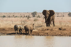An elephant challenges two rhinoceros for a waterhole Royalty Free Stock Photography