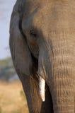 Elephant at Chaminuka. A close up of a bull elephant at Chaminuka Royalty Free Stock Images