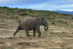A elephant charges at Addo park Royalty Free Stock Photos