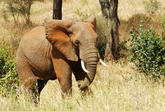 Elephant charging Royalty Free Stock Photos