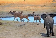 Elephant chasing Kudu away from waterhole in Hwange National Park, Zimbabwe, Southern Africa Royalty Free Stock Images
