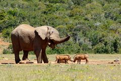 Elephant chasing the warthogs. At the watering hole Royalty Free Stock Photo