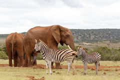 Elephant checking out the Zebras Stock Photos