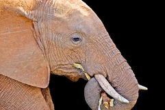 Elephant chewing branch Royalty Free Stock Images