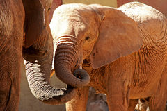 Elephant child. Mother elephant caring for her baby in an affection moment stock photo