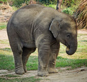 Elephant in Chitwan, Nepal Royalty Free Stock Photography